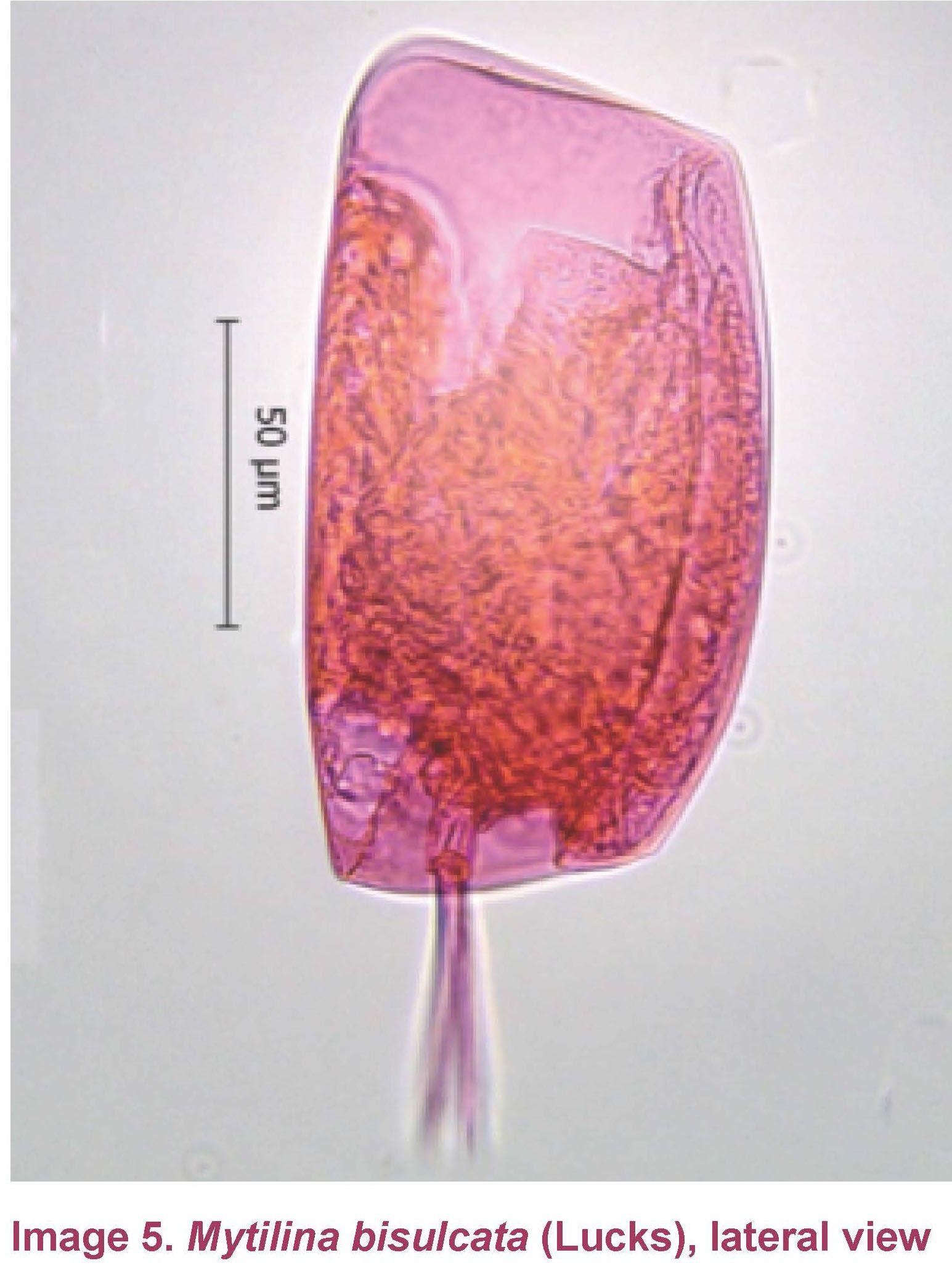 Mytilina bisulcata lucks 1912